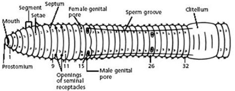 earthworm diagram labeled parts earthworm dissection