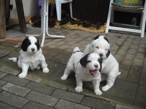 landseer puppies three landseer puppies photo and wallpaper beautiful three landseer puppies pictures
