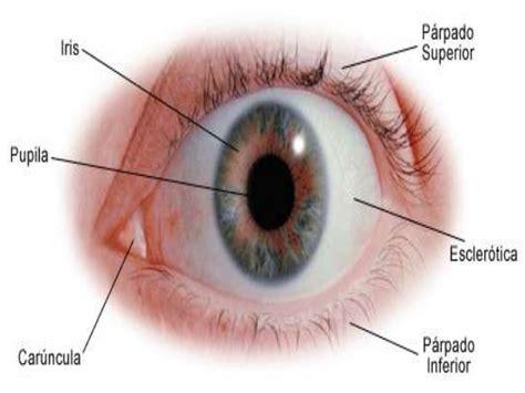 imagenes ojos humanos estructura y funci 243 n del ojo humano