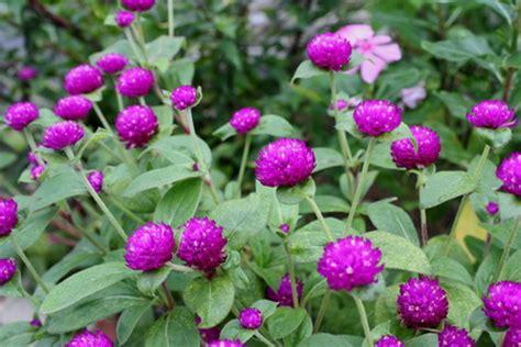 khasiat bunga kenop  mengobati asma