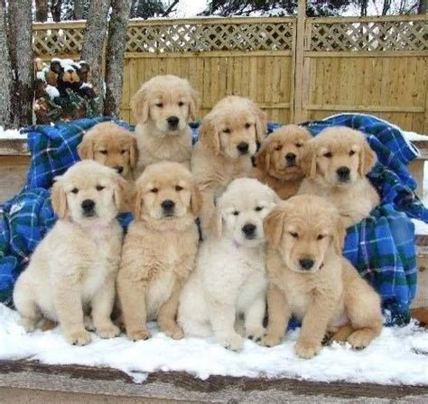 where did golden retrievers originate from 1000 images about golden retriever names on
