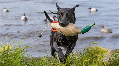 how to your to retrieve ducks five ways to prepare your duck for fall delta waterfowl