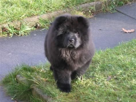 blue chow chow puppies 1000 images about on cgi ponies and seals