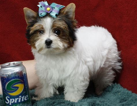free puppies toledo ohio wow and healthy teacup yorkie for you asap toledo dogs for sale