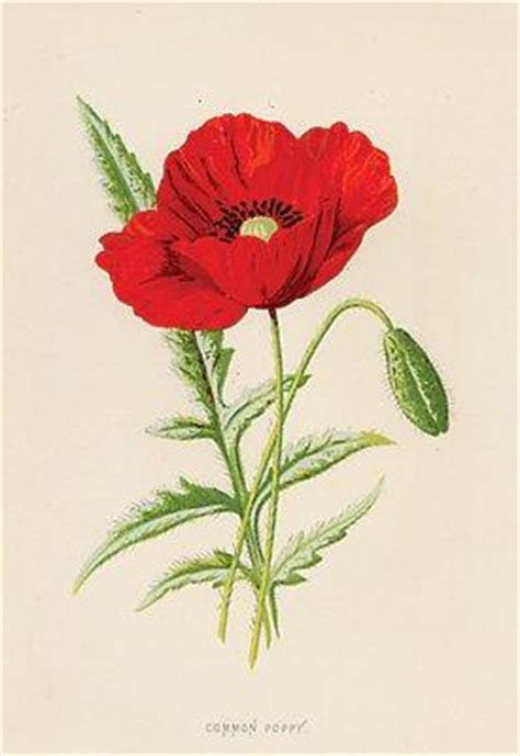 significato fiore papavero il linguaggio dei fiori il papavero paperblog