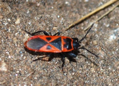 red bed bugs red bug introduced species spreading in california what s that bug