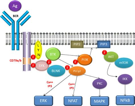 protein kinase b the bcr pathway abbreviations akt protein kinase b bcr