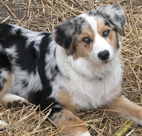 blue merle puppy the gallery for gt blue merle australian shepherd puppies with blue