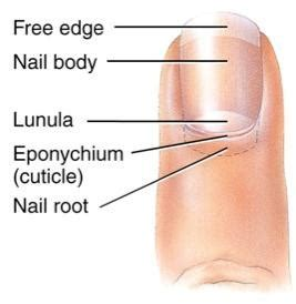 Nail Bed Injury The Relationship Between Nails And Health Osteopathy
