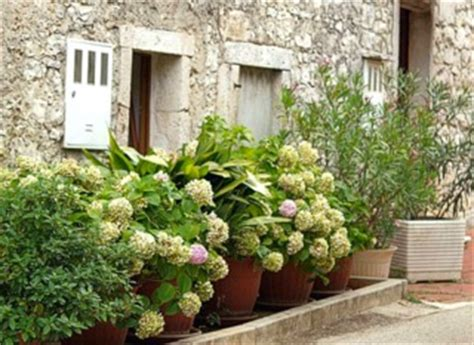 Quand Planter Les Hortensias by Cultiver Un Hortensia En Pot Vari 233 T 233 S Adapt 233 Es Entretien