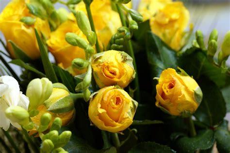 imagenes de flores rosas amarillas rosas amarillas cerradas im 225 genes y fotos