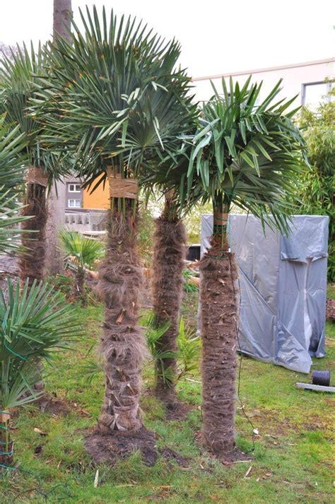 winterschutz palmen winterschutz f 252 r palmen der palmenmann