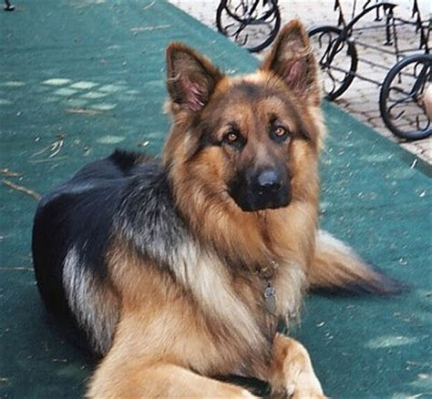 average german shepherd weight large german shepherd weight dogs our friends photo
