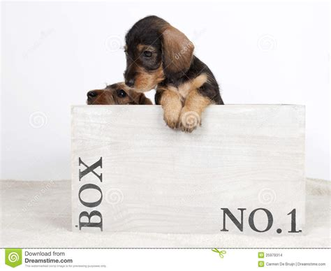 puppies in a box two puppies in a wooden box stock images image 25979314