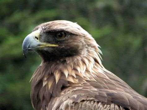 types of eagles what do eagles eat where do eagles live