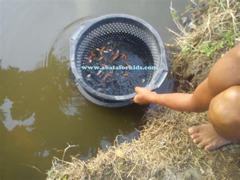 Benih Ikan Gurame Yang Baik menetaskan telur ikan yang baik benih ikan