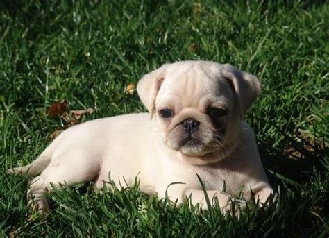 white pugs puppies 1000 images about white pug puppies on pug white boys and mans best