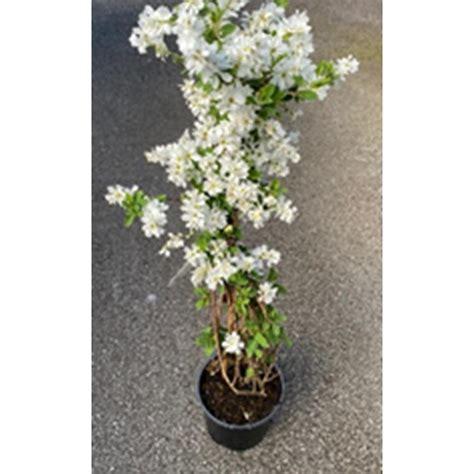exochorda macranthra  bride  hardy plants polhill