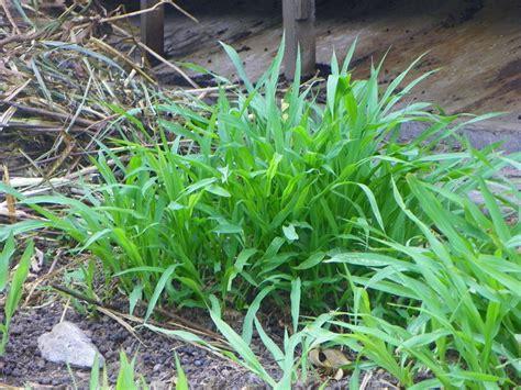 Bibit Rumput Odot tips agar rumput odot tumbuh maksimal