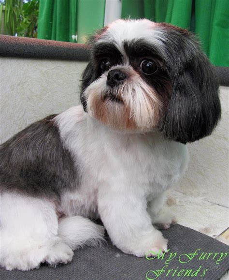 good grooming proper hairstyles shih tzu haircuts grooming the good the bad the