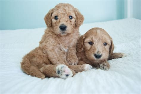 mini goldendoodle tn goldendoodle breeders goldendoodle puppies for sale