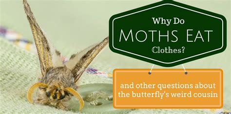 What To Do About Moths In Your Closet by Why Do Moths Eat Clothing And Other Moth Questions