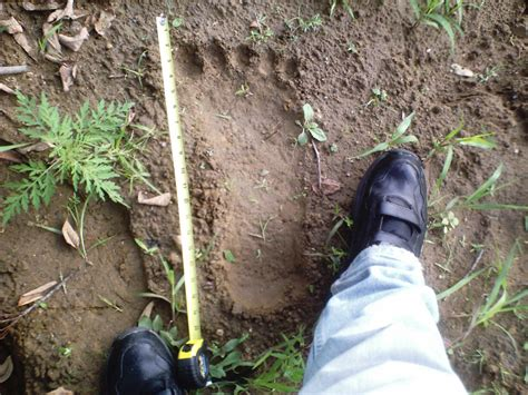 Prints Spotted In World by Cryptomundo 187 Bridgewater Triangle Bigfoot