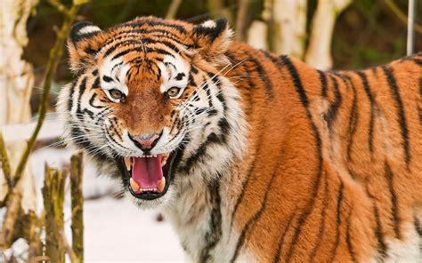 imagenes 4k tigre fotos de tigres en hd imagenes de pantheras tigris