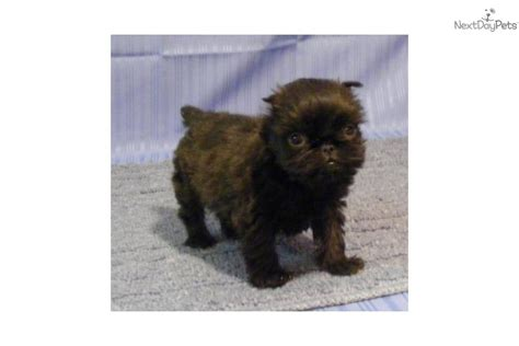 teacup brussels griffon puppies for sale brussels griffon puppy for sale near springfield missouri 5a5708e5 2d31