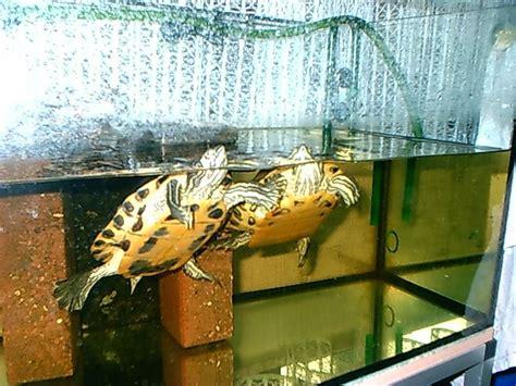 landschildkröten haltung in der wohnung tieranzeigen gelbwangenschildkr 246 ten kleinanzeigen