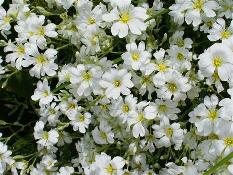 flowers photo tiny white flowers in bloom light names of white flowers 2 desktop background