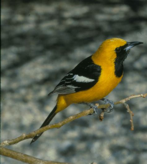 hooded oriole the texas breeding bird atlas