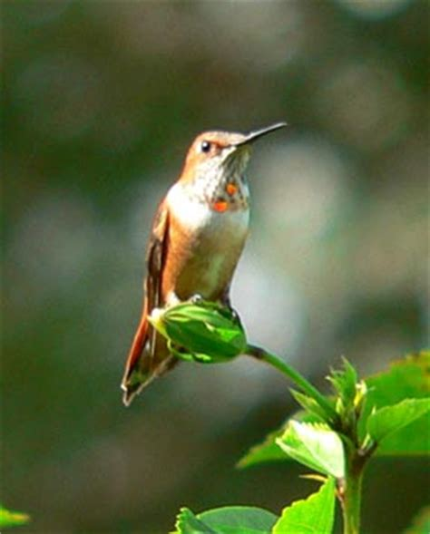 home florida hummingbirds