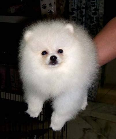 pomeranian price in malaysia white pomeranian puppies only 1 left special price for sale adoption from