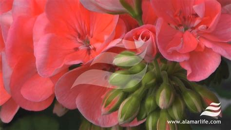 fiori geranio experience nature fiori geranio rilassanti feng