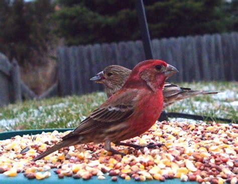 backyard finches our backyard birds in backyard birds personal