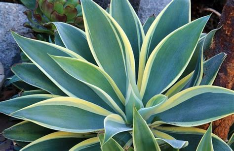agave of light agave attenuata of light fox agave