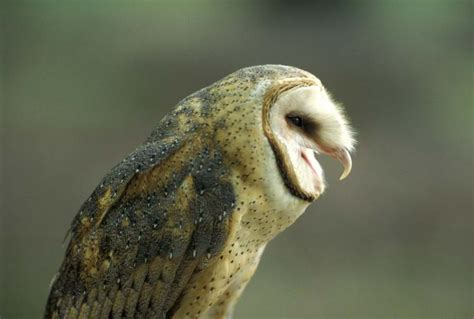 Small Barns barn owl mdc discover nature