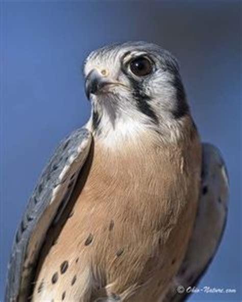 pretty birds on pinterest ohio peregrine falcon and hawks