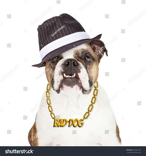gold chain for dogs bulldog wearing bad gold chain necklace and gangster gold chain for dogs rd