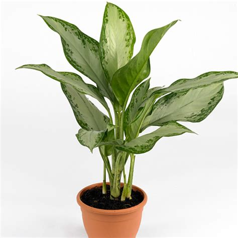 chinese evergreens chinese evergreen aglaonema species pick ontario