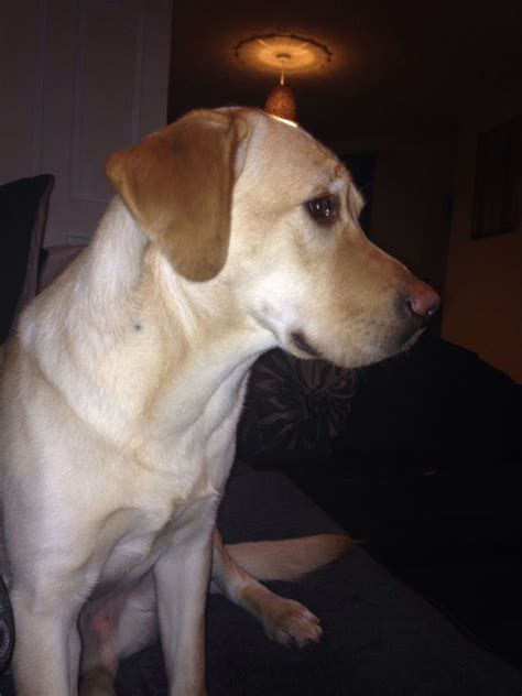 dudley lab puppies for sale golden labrador for sale dudley west midlands pets4homes