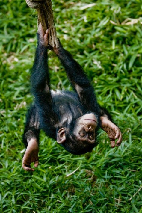 swing upside down swinging upside down chimp by evan animals www flickr