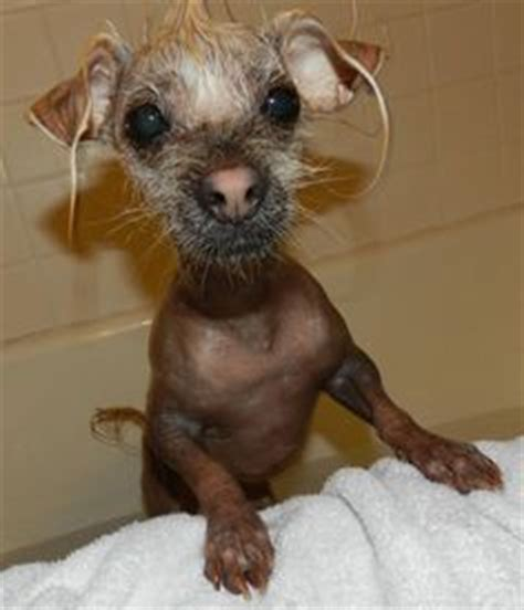 dogs with no hair 1000 images about puppy s and dogs on dogs search and search