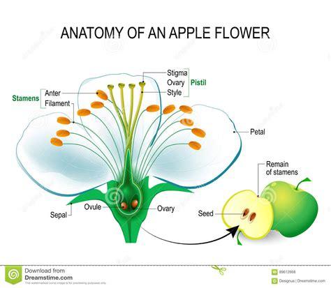 anatomia fiore anatomia di un fiore della mela illustrazione vettoriale