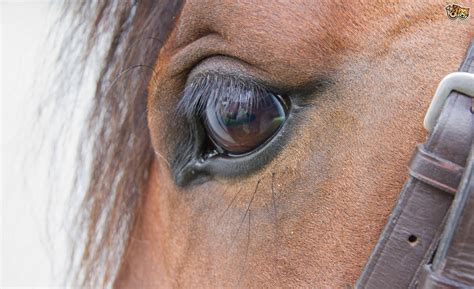 eye problems recognising eye problems in horses pets4homes