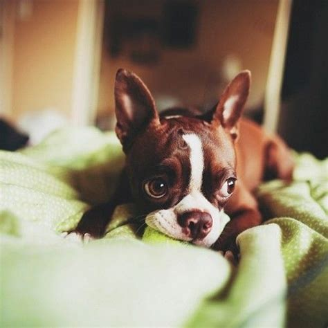 brown boston terrier puppies 25 best ideas about brown boston terrier on boston terrier boston
