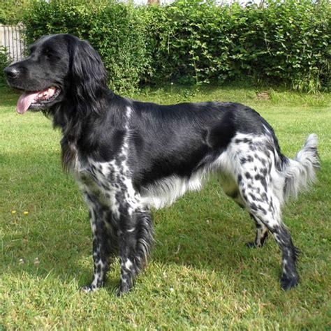 large munsterlander puppies large munsterlander info temperament puppies pictures