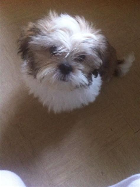 how is the oldest shih tzu 16 weeks shih tzu puppy belfast county antrim pets4homes