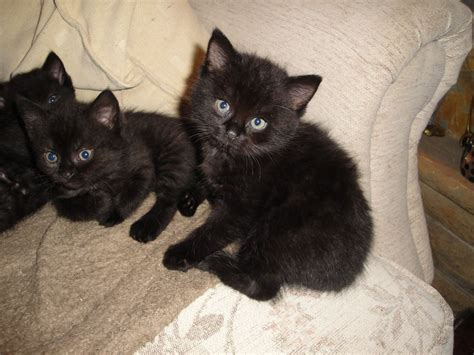 cats for sale adorable half black kittens for sale holmfirth